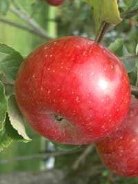 Obst in Rust und Umgebung