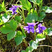 Hainveilchen (Viola riviniana) im Glottertal