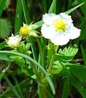Wald-Erdbeere (Fragaria vesca) Glottertal