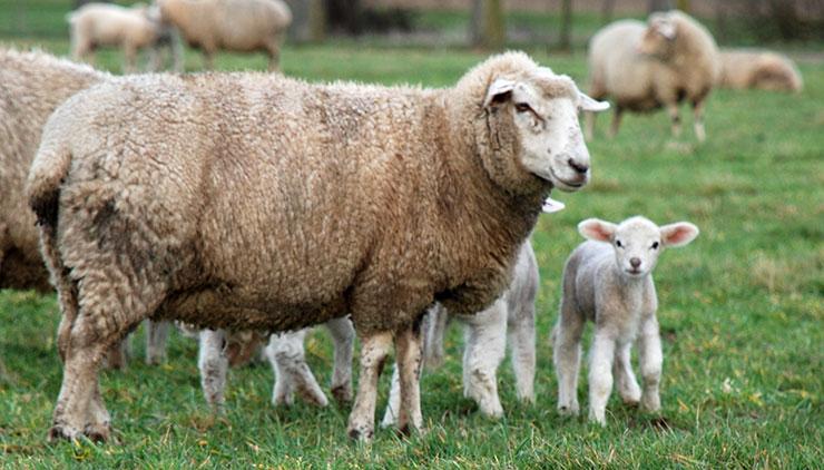 Schaf im Breisgau und Südschwarzwald